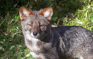Darwin's fox in Ahuenco, Chiloe Island, Chile