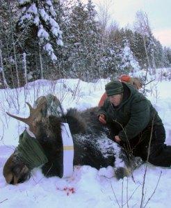 Minn moose collaring