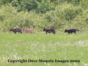 Wolves at Crex Meadows, 2009. Photo on WDNR website.