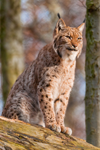 Reintroducing animals like Lynx could spark enthusiasm in conservation, as well as helping ecosystems flourish.