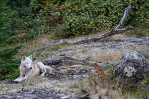 wolfed-1